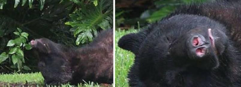 Urso come 20 quilos da ração de cachorro e tira cochilo em quintal