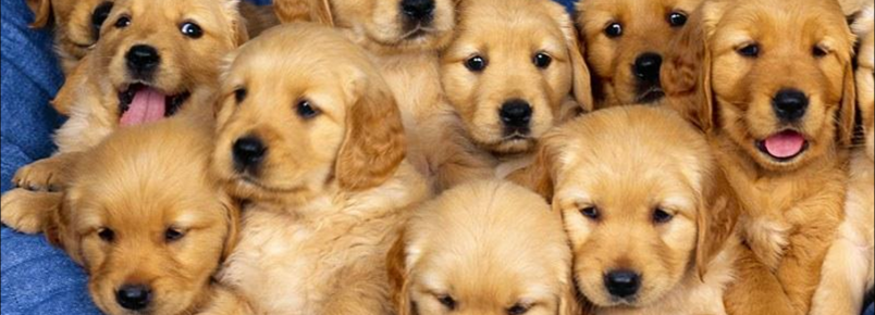 Olhos dos filhotes de cachorro: Em que estágio de desenvolvimento eles abrem?