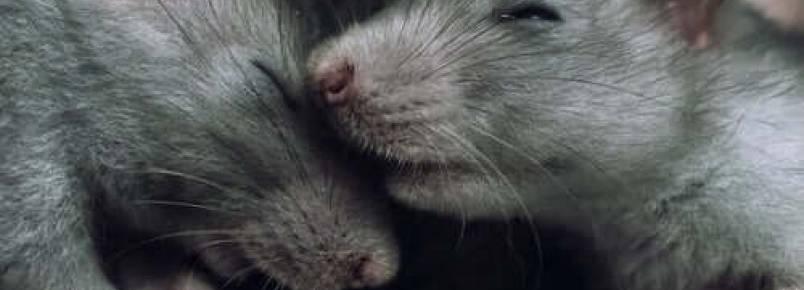 Por que os ratos evitam machucar seus congêneres?