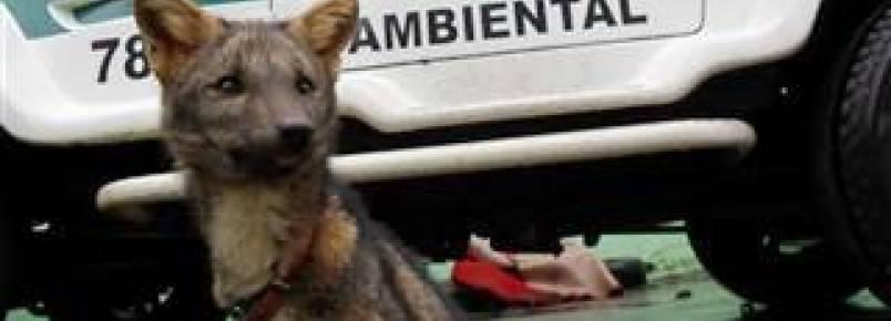 Polícia resgata cachorro-do-mato e aves de cativeiro em Cruzeiro do Oeste