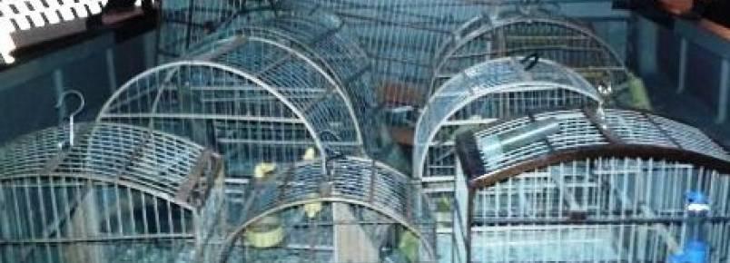 Polícia Ambiental apreende 21 pássaros silvestres em Santa Maria (DF)