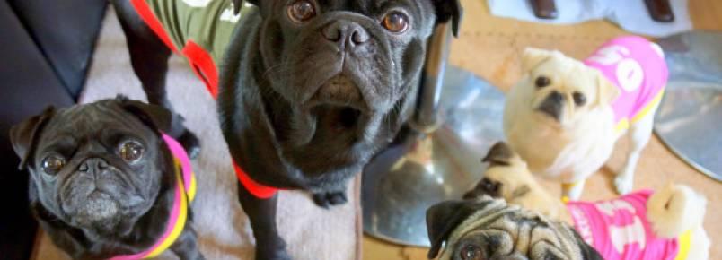 Café em Kyoto oferece oportunidade de passar o dia com pugs