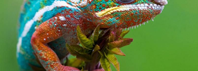 Como o camaleão muda de cor?
