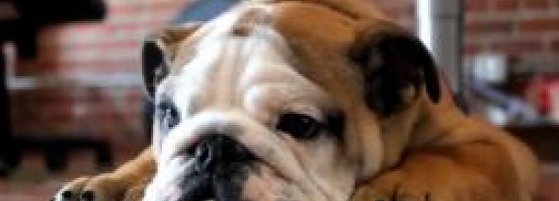 Como seu cachorro demonstra que te ama
