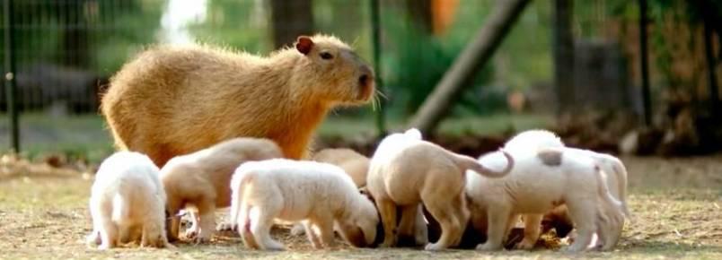Capivara se torna mãe adotiva de cachorrinhos abandonados