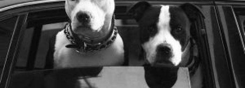 Conheça as penalidades para o transporte irregular de cães dentro do carro