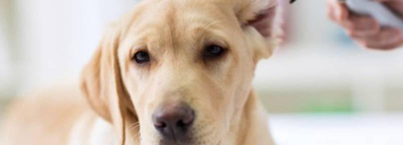 3 dicas para evitar infecções de ouvido no seu cão