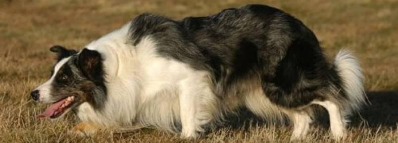 Raças de cães de pastoreio