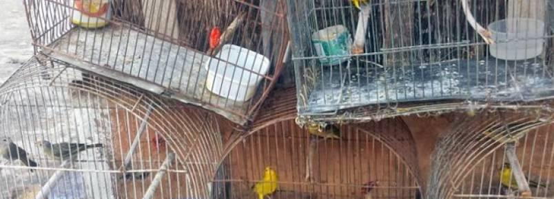 Aves silvestres são encontradas em cativeiro e morador é multado em R$ 4,5 mil
