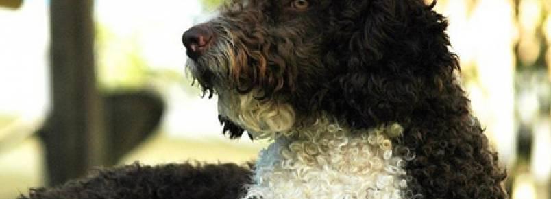 Cachorro salva-vidas: o incrível cão d'água português