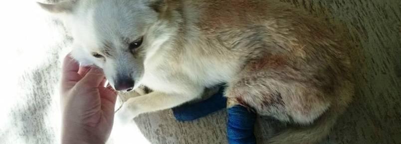 Urgente: Cãozinho precisa de doação de sangue em Itabira (MG)