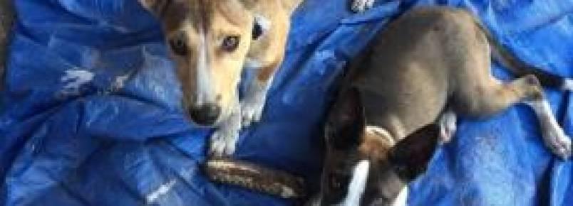 Cães abandonados vencem mulher pelo cansaço e ganham novo lar