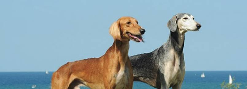 Perfil da Raça do Cão Saluki: A Raça Mais Antiga do Mundo