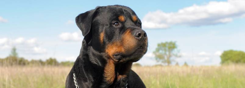 As 10 raças de cachorros mais inteligentes