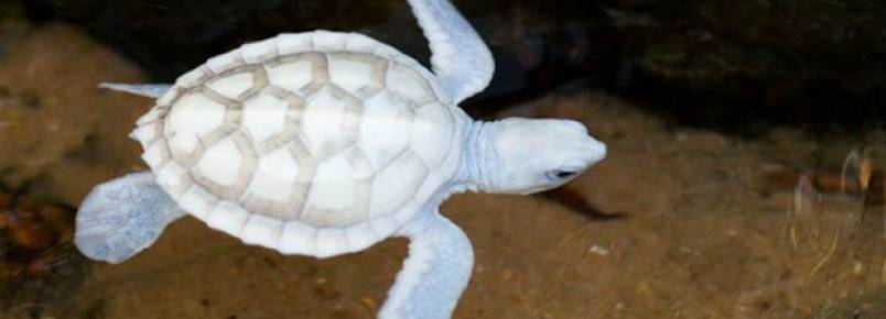Tartaruga albina nascida em Noronha é assistida pelo Projeto Tamar