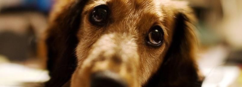 Bico de papagaio em cães: como reconhecer e tratar