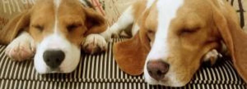 CPI dos Maus-Tratos a Animais investigará repasses federais ao Instituto Royal