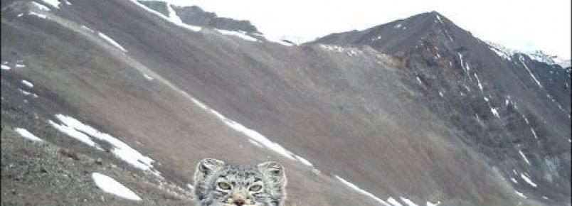 Na Rússia, câmera capta um gato-de-pallas