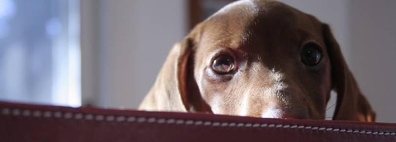 Depressão em cães: Sintomas, causas e tratamento