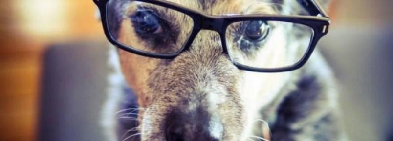 Será que os cães também precisariam usar óculos quando envelhecem?