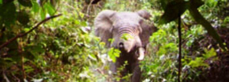 IBAP confirma presença de elefantes nas florestas da Guiné-Bissau