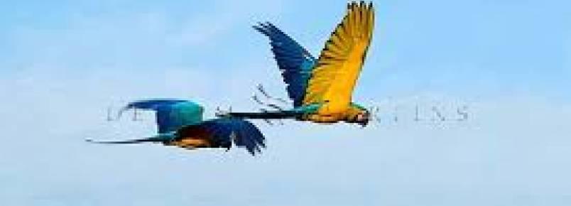 20 araras  foram soltas pelo Ibama na região da cidade de Aragoiânia