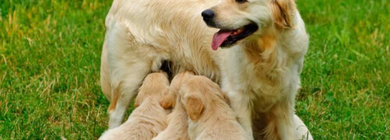 Saiba tudo sobre a mastite nas cadelas