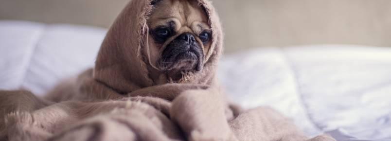 Infecção por parvo virose em cães: quais os sintomas e como tratar