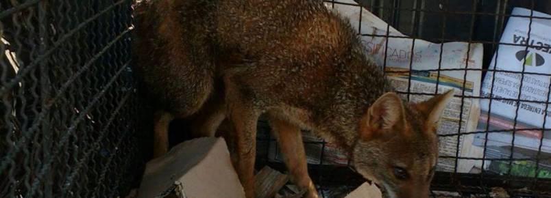 Cachorro do mato é resgatado em prédio comercial no centro de Londrina