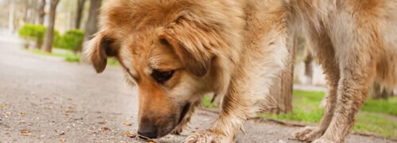 Meu cão come coisas na rua, como eu evito isso?
