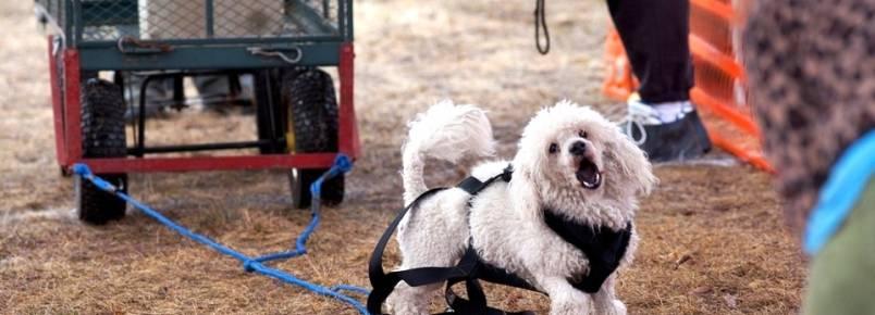Cães são forçados a puxar centenas de quilos em campeonatos nos EUA