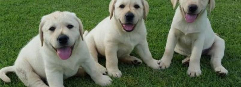 Famílias que queiram acolher futuros cães-guias podem fazer inscrição junto a instituto