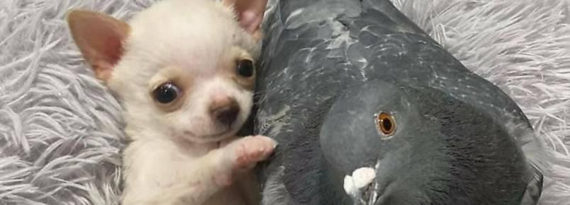 Pomba que não consegue voar e chihuahua que não anda se tornam amigos inseparáveis