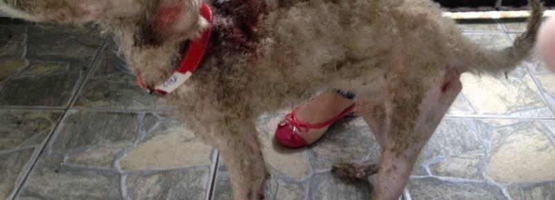 Cachorro é salvo da morte e está pronto para adoção em Guarujá
