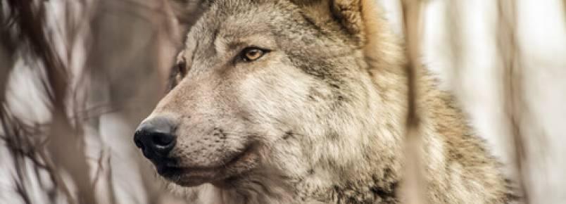 O que torna os lobos diferentes dos cães?