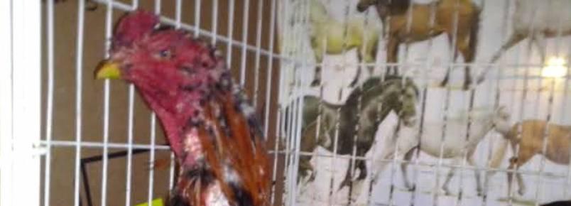 Galos de rinha são encontrados em veículo abordado pela PM em Piraquara (PR)