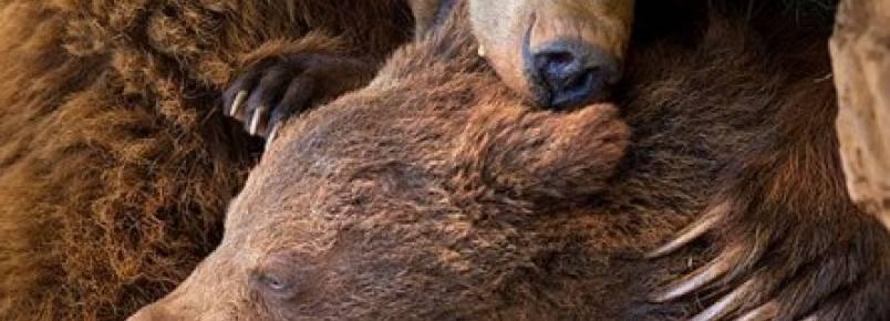 Mamãe Ursa ensinando seus filhotes como ser um Urso