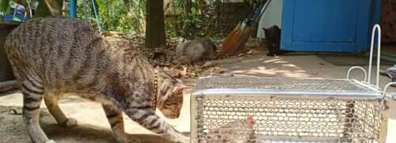 Leptospirose em gatos: sintomas e tratamento