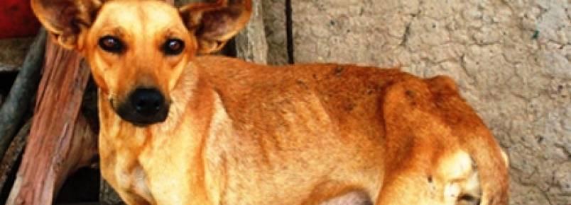 Dicas para manter a leishmaniose longe do seu cão