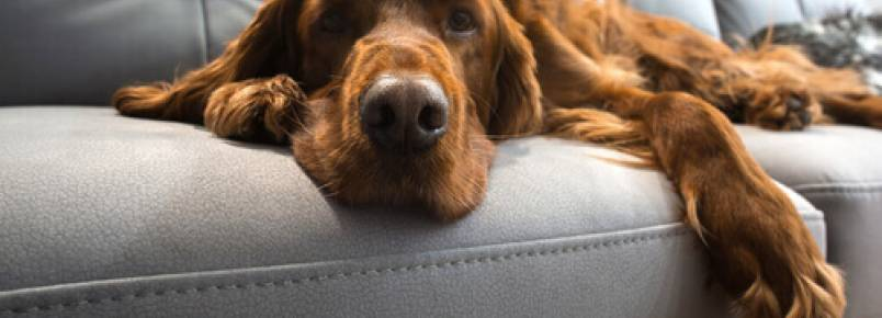 Os cães idosos também podem aprender as coisas