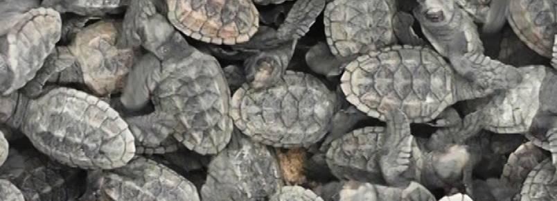 Filhotes de tartaruga nascem na praia do Coqueiro em Luís Correia