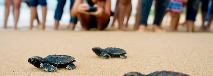 Tamar solta em Natal, várias da espécie de tartaruga mais ameaçada no mundo