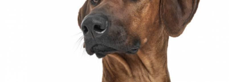 Conheça mais sobre o cão africano: o Leão da Rodésia