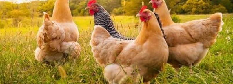 Qual é a causa da coccidiose nas galinhas?
