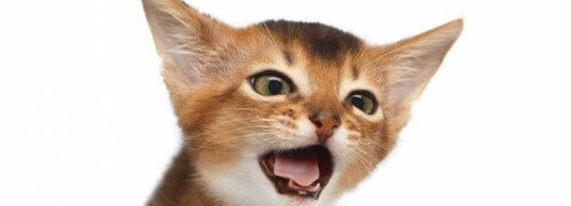 Tudo sobre a tosse em gatos