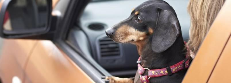 Por que levar o cachorro no carro pode te custar bem caro?