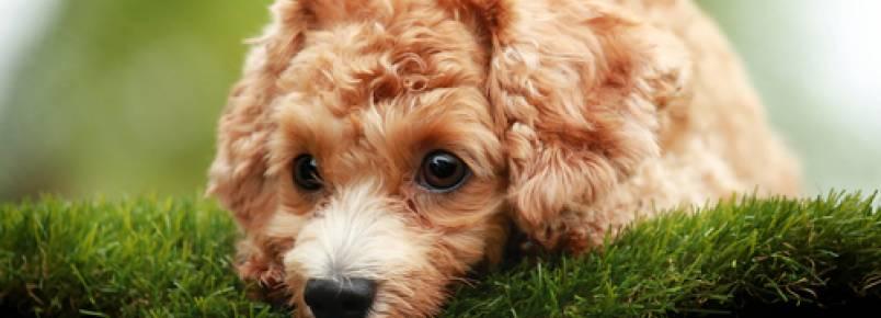 Diferenças entre Poodle e Schnauzer