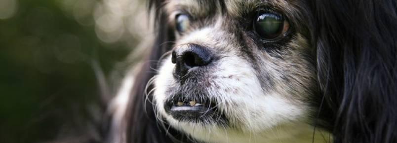 O glaucoma canino é uma doença séria que pode levar a cegueira