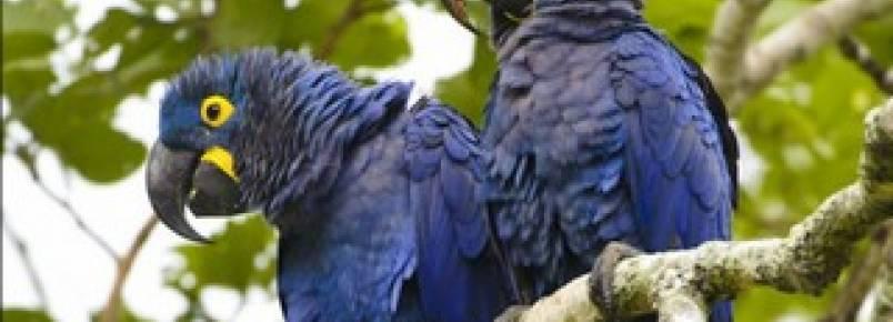 Projeto Arara Azul estima nascimento de 50 filhotes até o fim do ano
