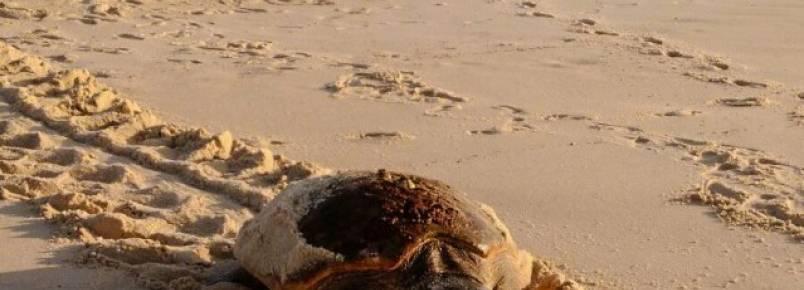 Maricá recebe pela primeira vez desova de tartaruga marinha